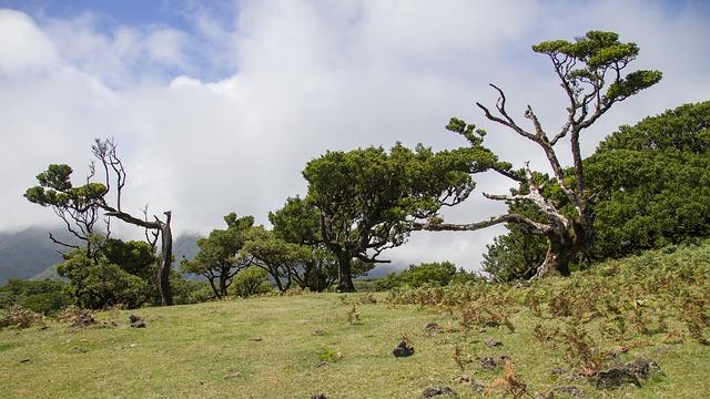Madeira Portugal Laurierbomen
